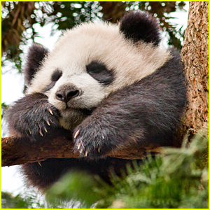'Born In China's Mei Mei is All You'll Need To Celebrate National Panda Day