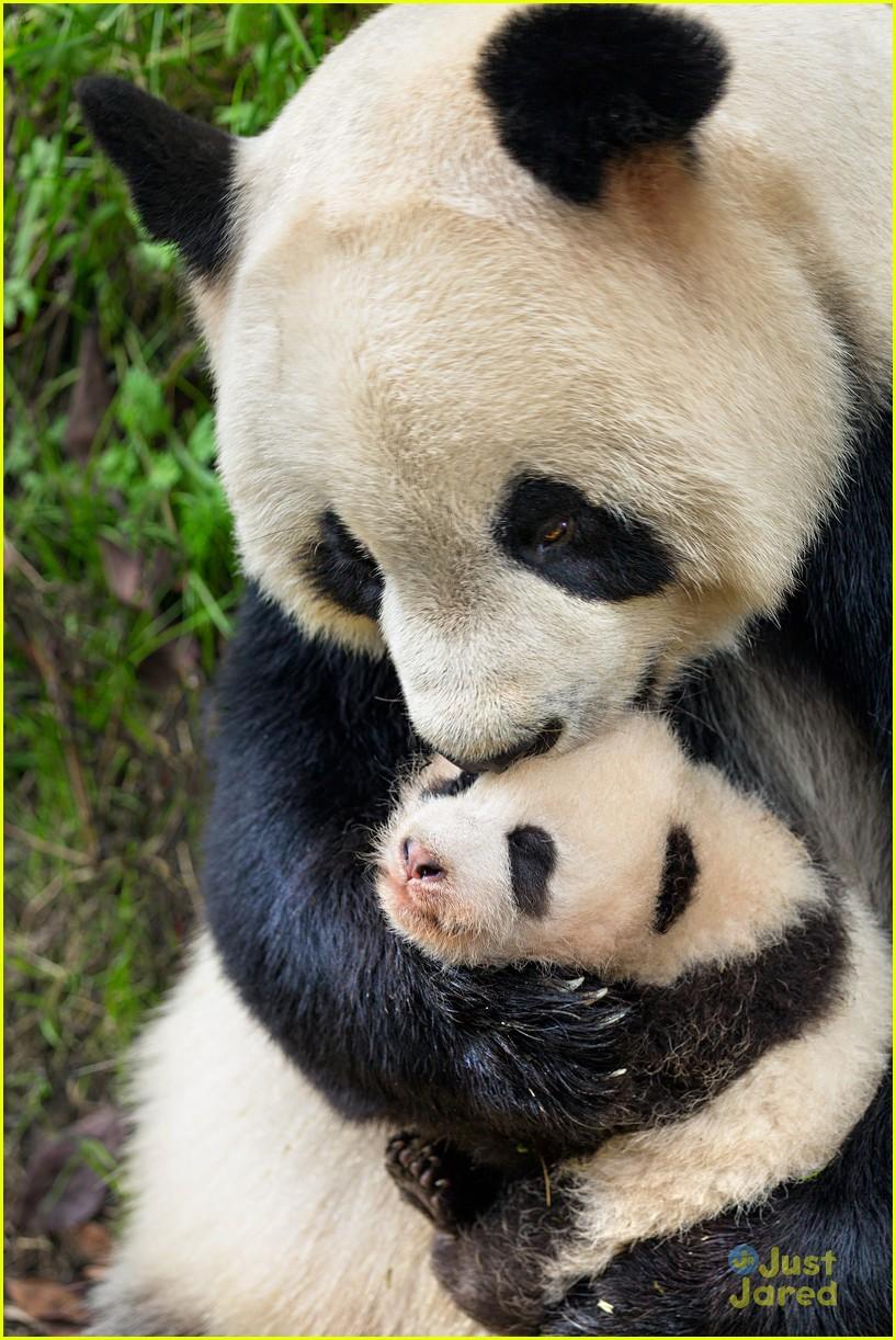 born china snow leopard story pandas monkeys 04